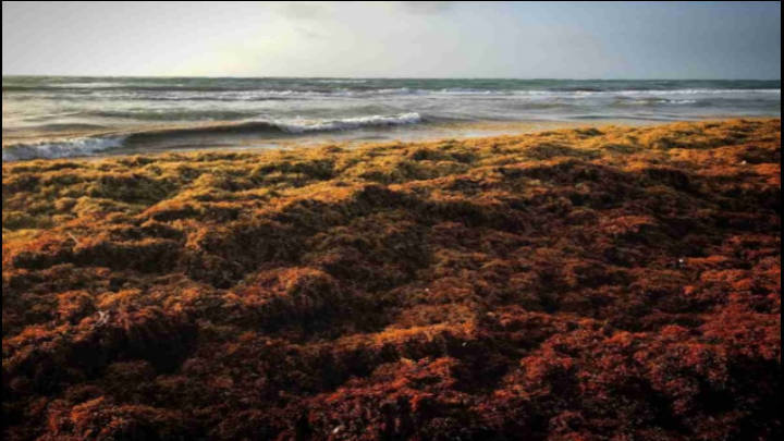 El polvo del Sahara alimenta a las macroalgas de las costas mexicanas