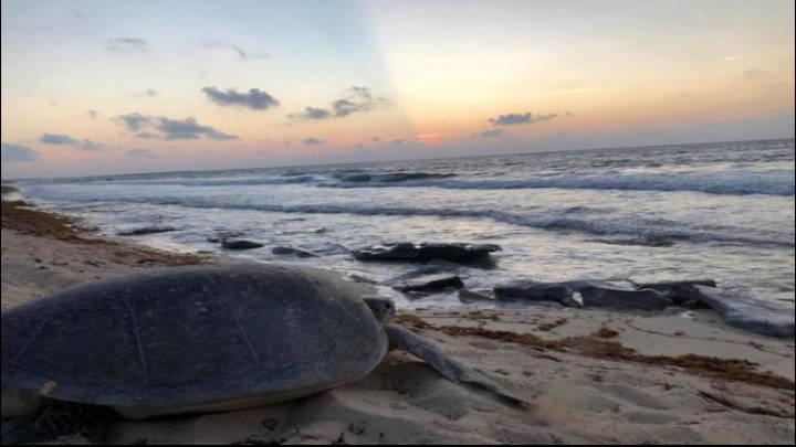 Las tortugas marinas se reencuentran con el paraíso de Quintana Roo