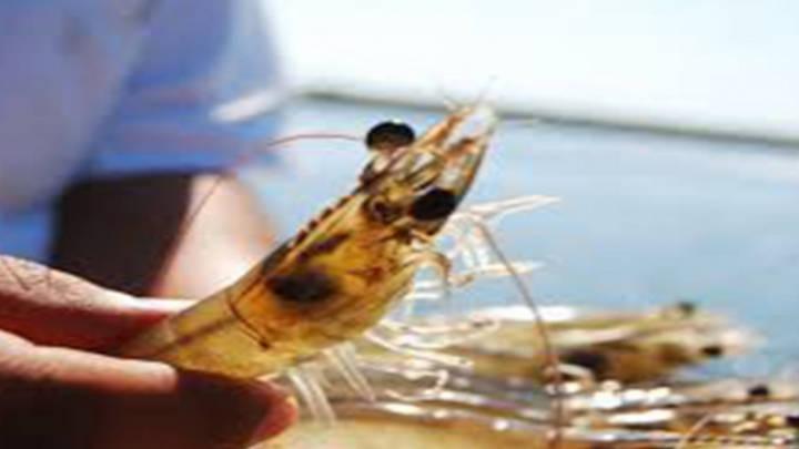 Consolidar el camarón mexicano, es la meta, en el mercado estadounidense