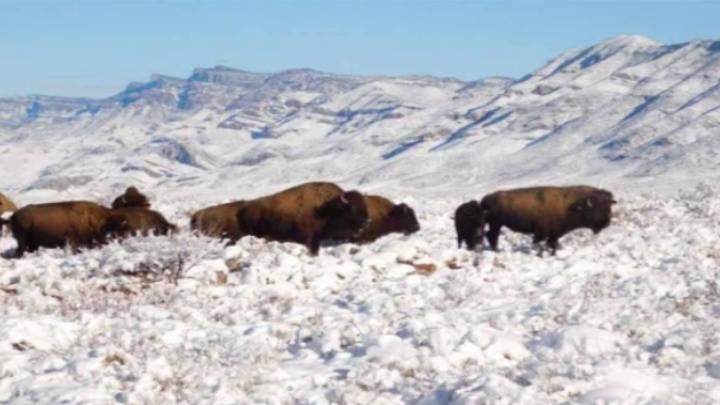 El bisonte americano no se veia desde hace más de 100 años en las tierras de Coahuila.