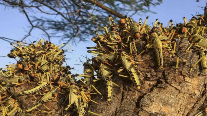 Plaga de langosta irrumpe en campos de Guatemala
